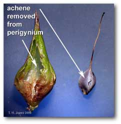 achene_removed_perigynia