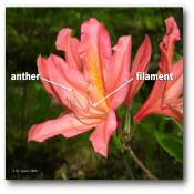 anther_filament