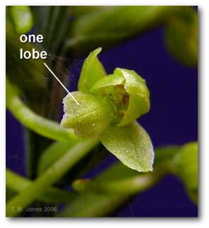 lobe_platanthera