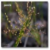panicle_dicanthelium