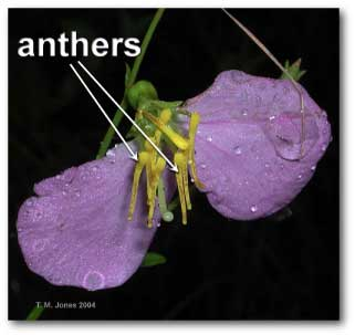 rhexia_anther