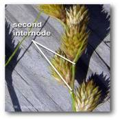 internode_inflorescence_carex