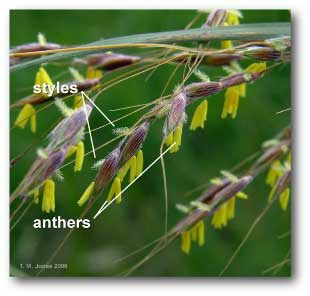 styles_anthers_hayfever