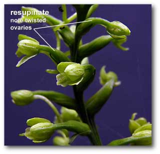 platanthera_twsited ovaries